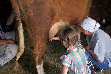 Have a go at milking
