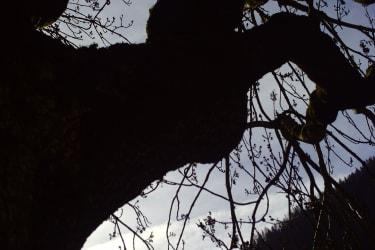 Mächtige Bäume - tief verwurzelt