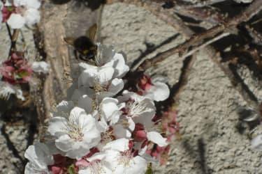 Hummeln, Bienen - alle suchen den Nektar
