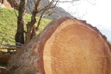 Wie alt ist dieser Baum geworden?