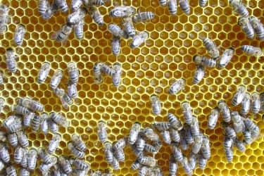 Honigwabe frisch eingetragen