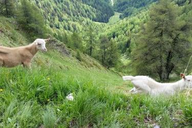 Kitzer in den Bergwiesen