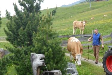 Einige Kühe verbringen den Sommer auf der Alm
