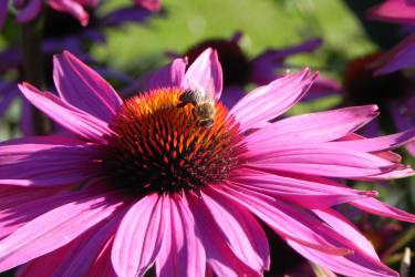 Fleißige Bienen im Wohlfühlgarten