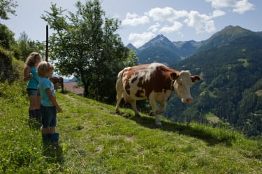 Die Kühe werden auf die Weide getrieben