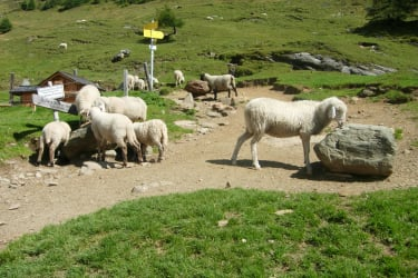 Schafe auf der Steineralm