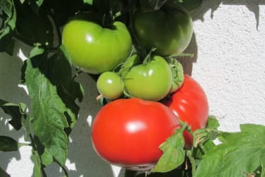 Tomaten vom Bauerngartl