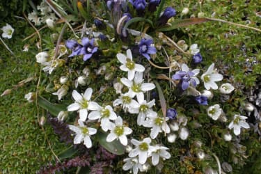 Eine Pracht  von Alpenblumen