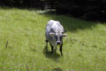Bella - our grey-coloured cow!