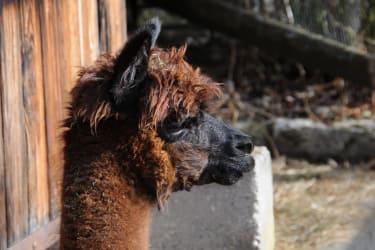Our neighbours... the alpacas ...
