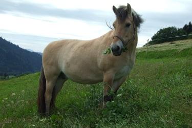 Dunja, Fjordpferd