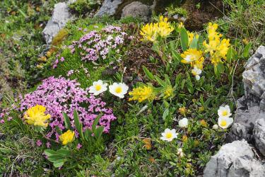 Alpenblumenpracht