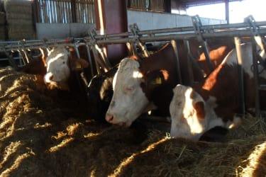 Die Kühe im Stall