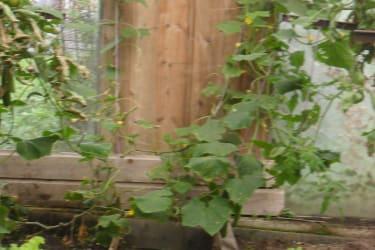 Eigene Gurken und Salat