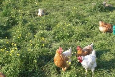 Hühnerfarm