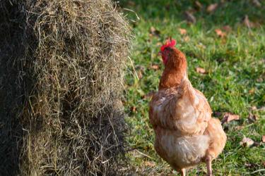 freier Lauf für unsere Hühner