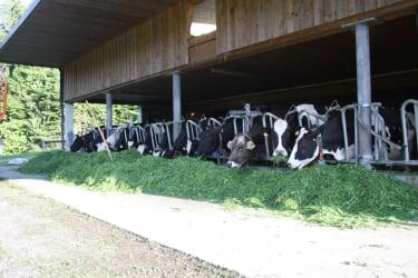Fütterung der Milchkühe
