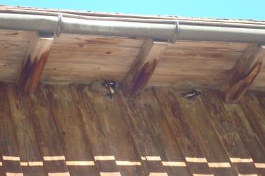 Endlich sind die Schwalben wieder zurück - sie sind beim Nestbau