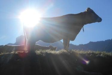 Auch Kühe mögen Sonne