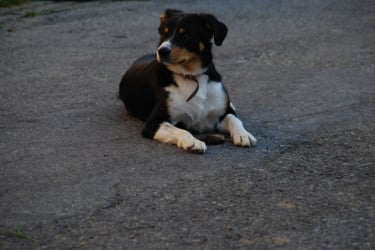 Hofhund Nero