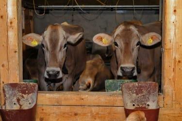 Unsere Kühe auf der Alpe
