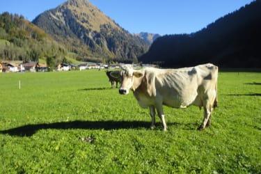 Unsere Kuh Fella genießt das saftige Gras