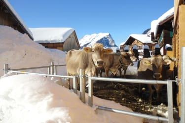 Kühe genießen den Auslauf im Winter
