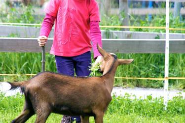 beim Ziegen füttern