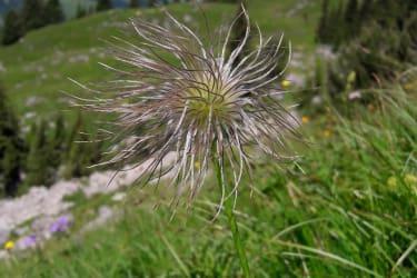 Alpenanemone in voller Blüte
