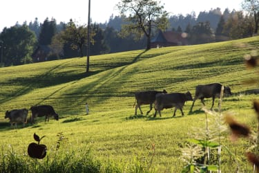 Kühe am Sonnenhof
