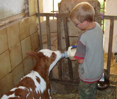 Feeding a newborn calf