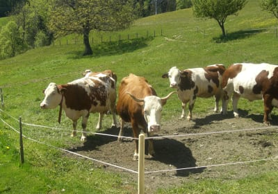zufriedene Kühe