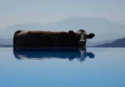 Kuh im Pool