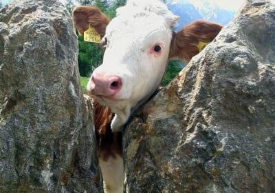 Auf Du und DU mit der Kuh. - Vom Frühling bis zum Herbst zählen die Kühe auf der gesamten Apriacher Alm zu Ihren täglichen Nachbarn.