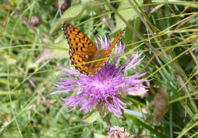 Schmetterling a.Weg