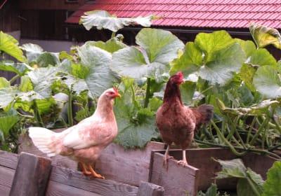 Hennen