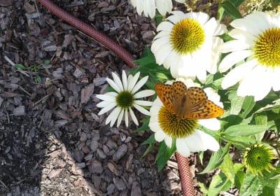 Kirchau Schmetterling auf Blume