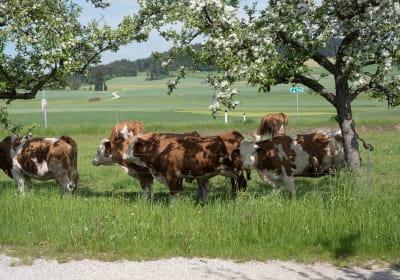 Biohof Mayerhofer - Rinder