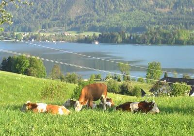 Unser Kühe auf der Weide