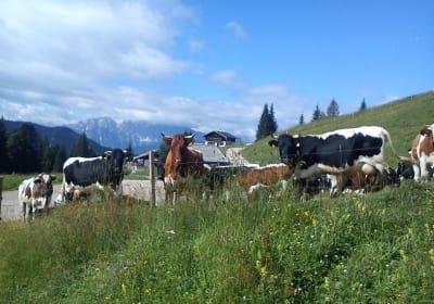 Unsere Kühe dürfen den ganzen Sommer auf der Alm verbringen!!!