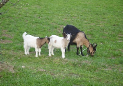 Unsere Ziege mit Jungen