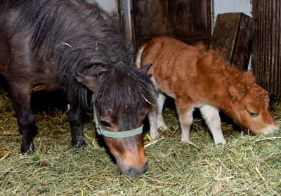 mini Pony Willi mit Mama Pauline