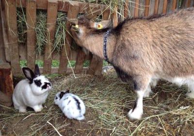 Die Hasen und Ziegen im Streichelzoo