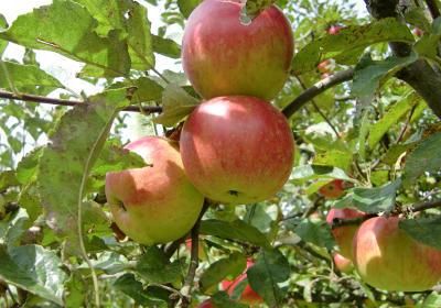 Der steirische Apfel