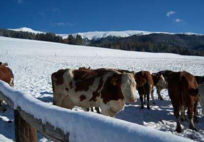 Kühe Winter