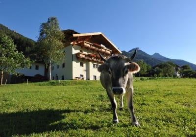 Unsere Kuh Enzian vor dem Untersillerhof