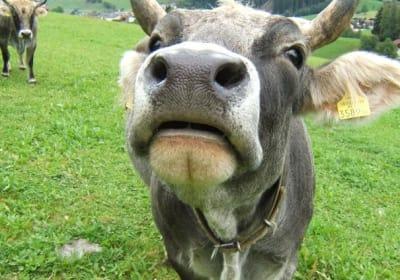 unsere Kuh Edelweiß heißt euch willkommen