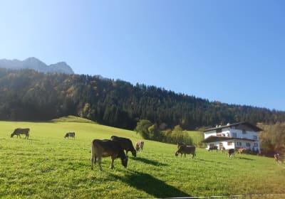 Kühe auf der Wiese vor dem Ferienhaus