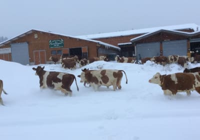 our cows love snow