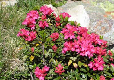 eine wunderschöne Zeit, die Almrosenblüte